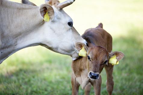 bò mẹ liếm bê con khi mới sinh ra