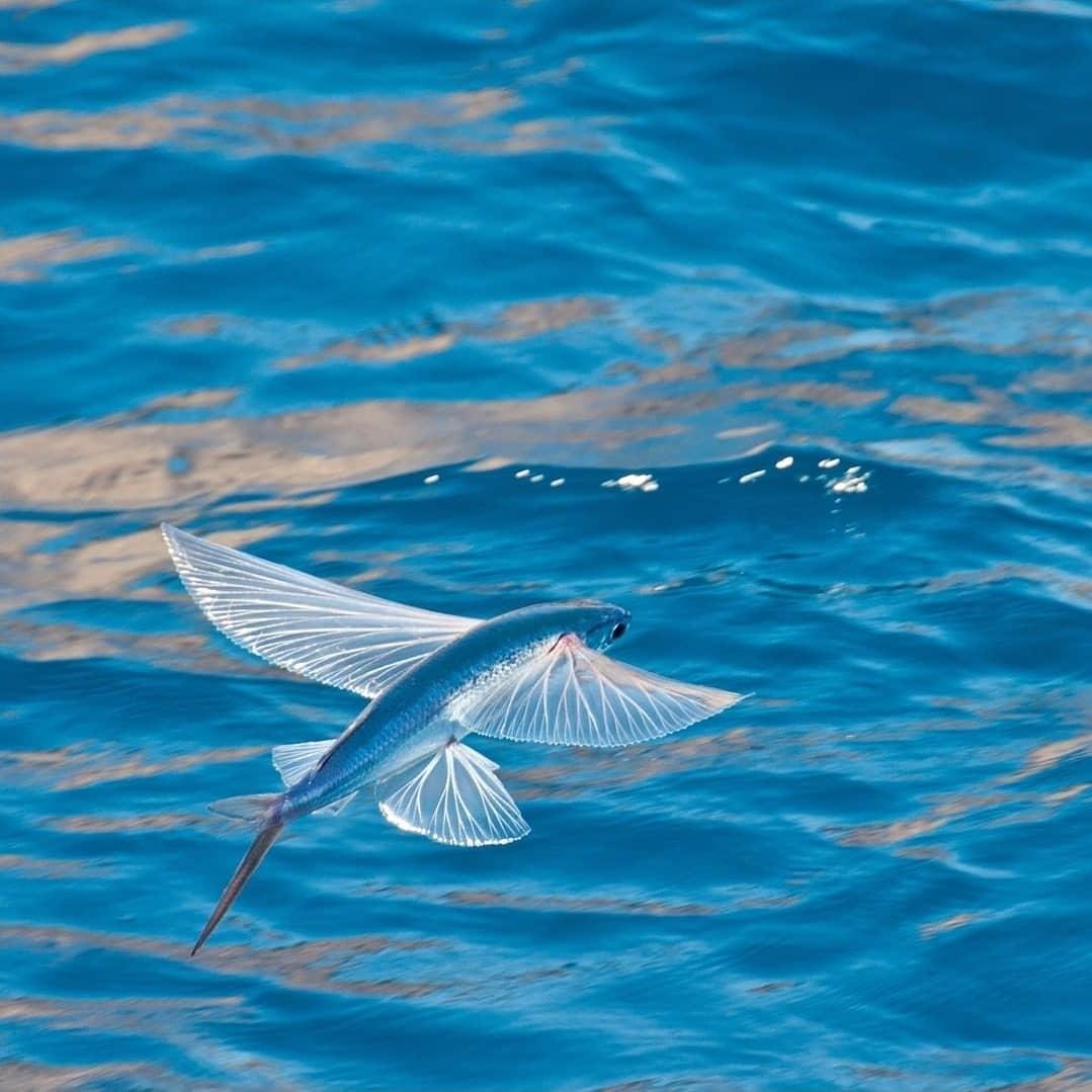 cá chuồn có thể bay trên mặt nước một đoạn dài