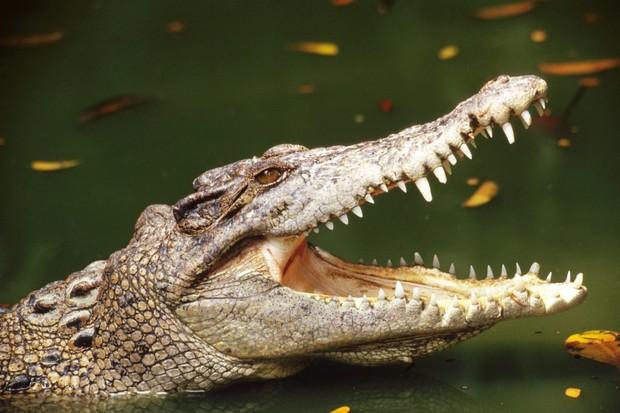 cá sấu chảy nước mắt khi ăn thịt con mồi
