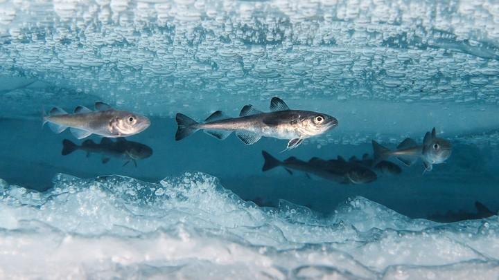 cá sống dưới băng