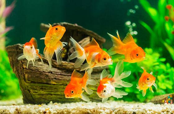 cá vàng bơi nổi lên chìm xuống như thế nào