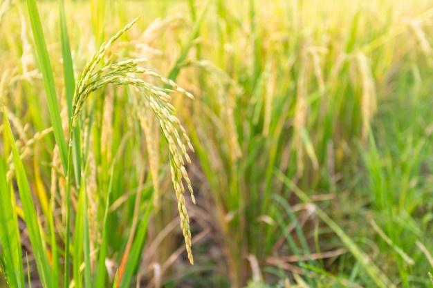 cây lúa có thân rỗng ruột