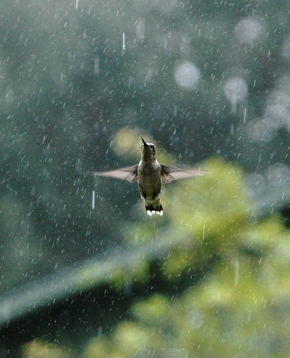 chim bay trong mưa