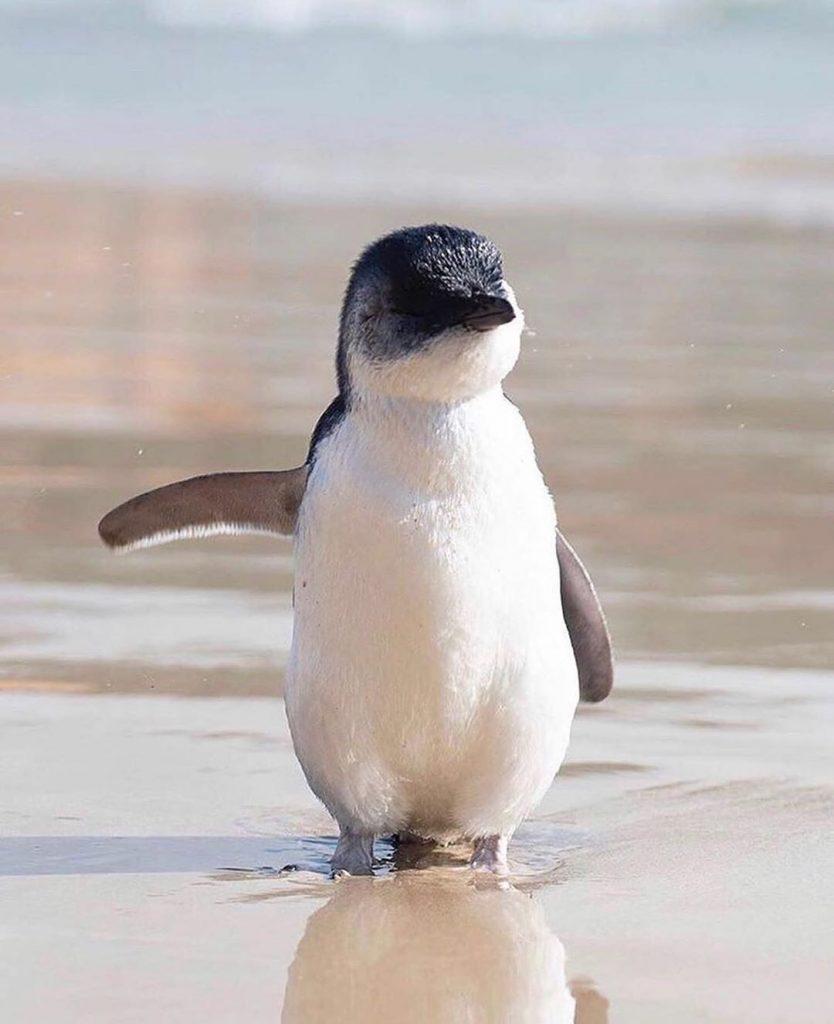 chim cánh cụt thường lặn cùng nhau