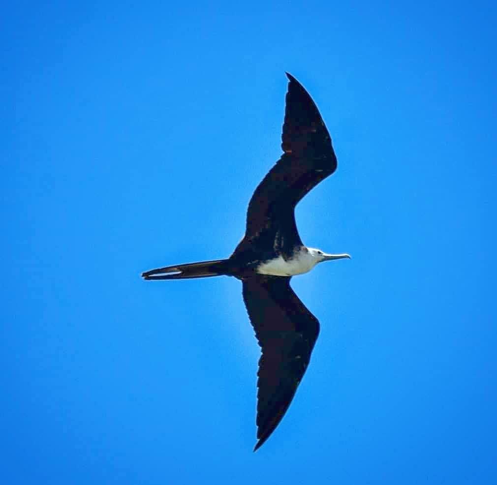chim cốc biển có thể bay nhiều giờ liền