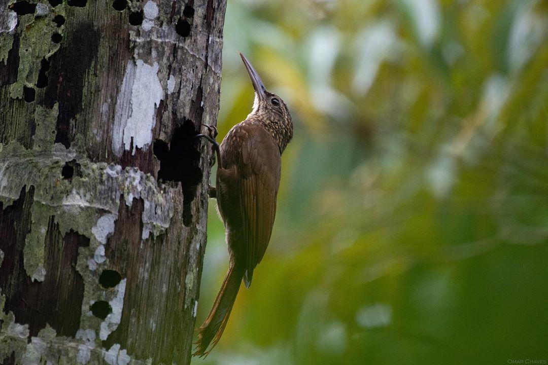 chim gõ kiến có thể bám vào thân cây