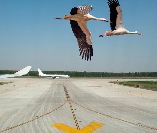 chim o sân bay ảnh hưởng đến an toàn của máy bay