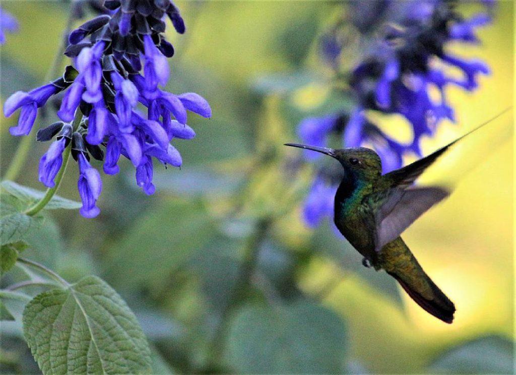 chim ruồi có thể bay lơ lửng