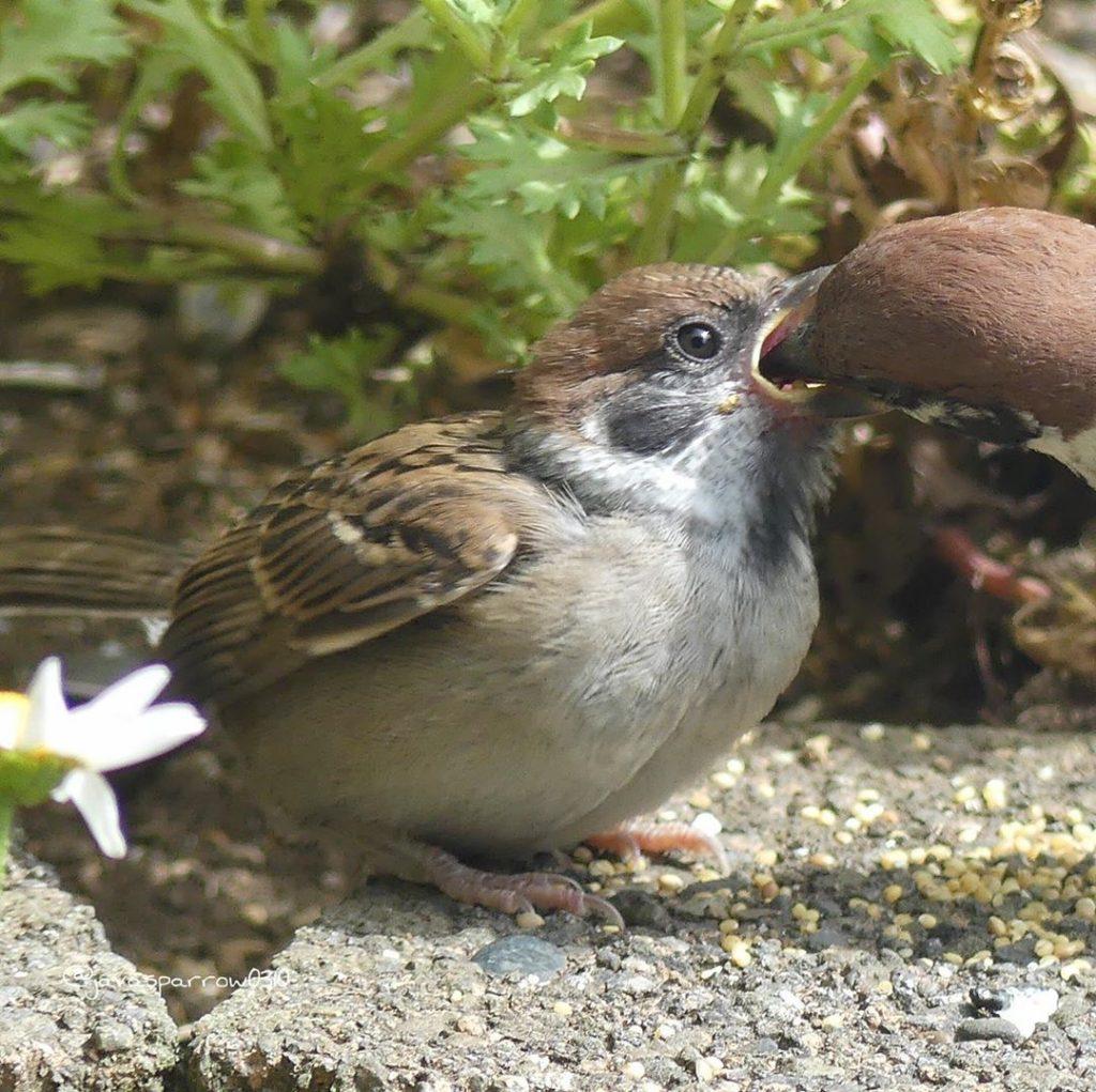chim sẻ mớm sâu nuôi chim con