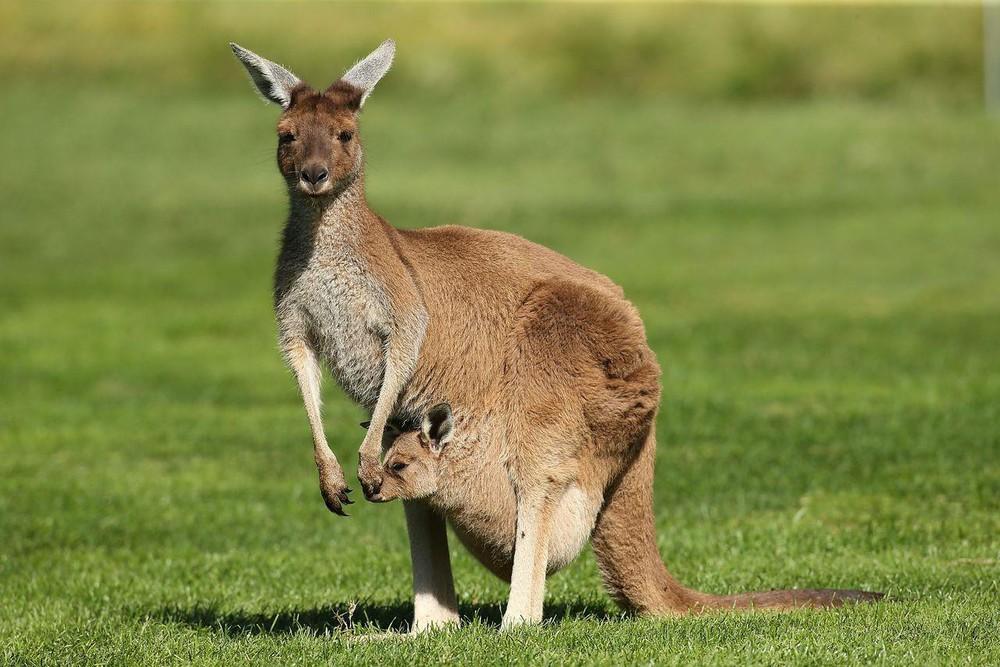 chuột túi kangaroo