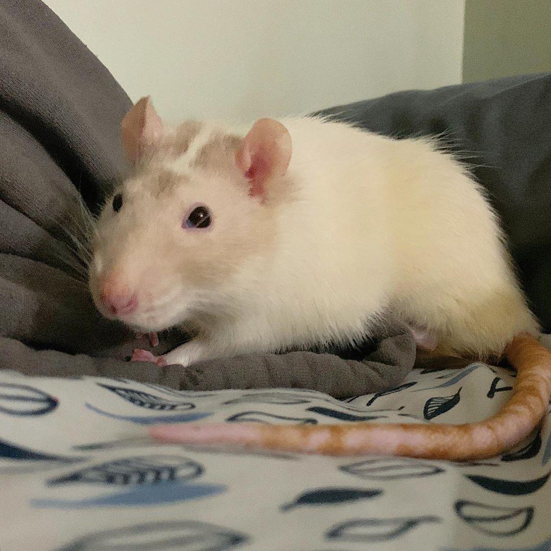 con chuột có đuôi dài