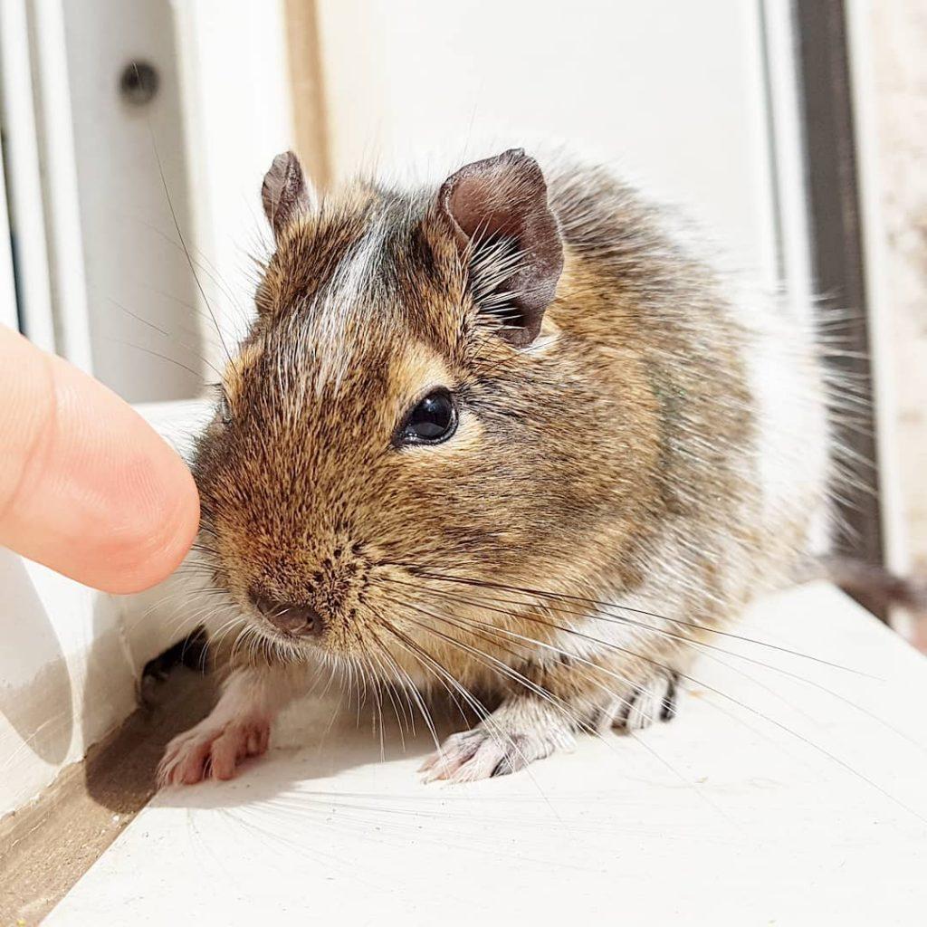 con chuột nhắt