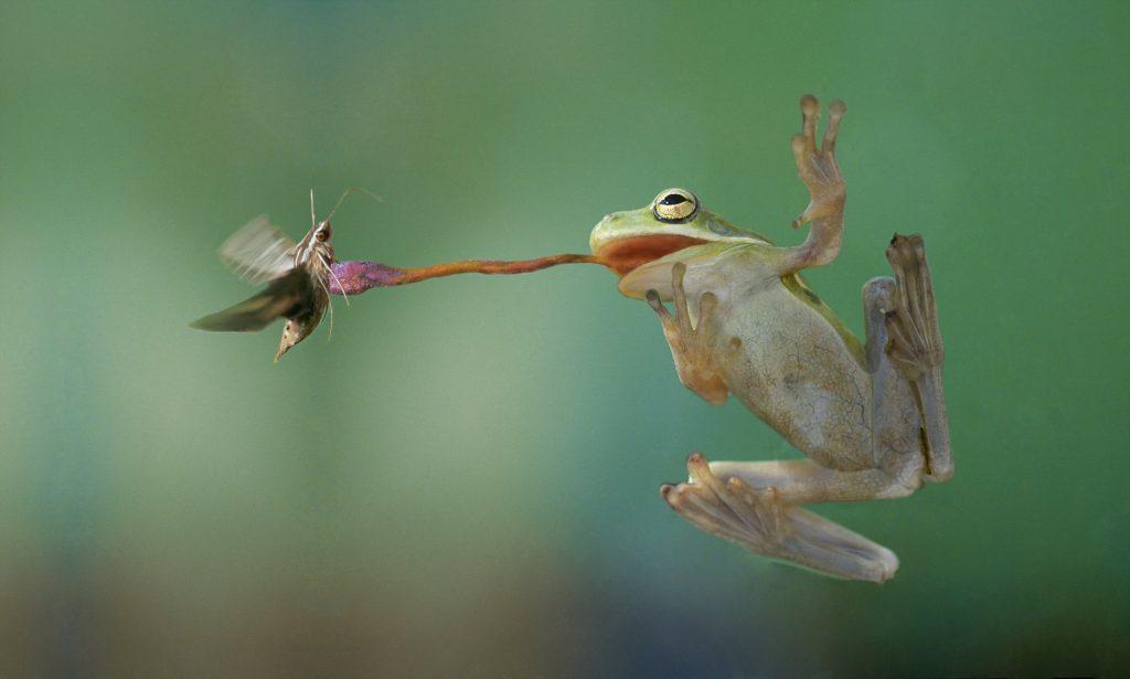 con ếch đớp mồi