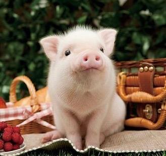 con lợn hay còn được gọi là con heo