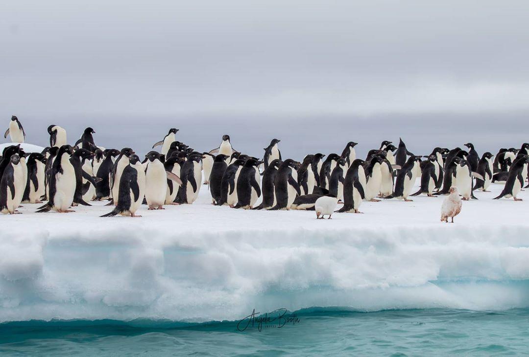 đàn chim cánh cụt đi lạch bạch