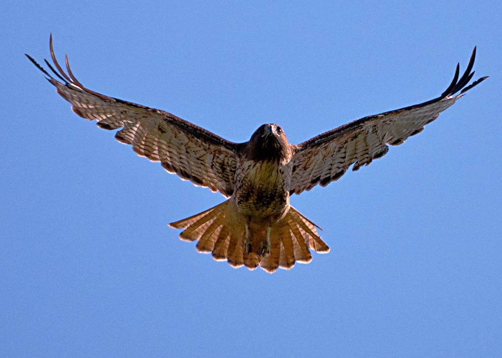 diều hâu bay lượn trên bầu trời