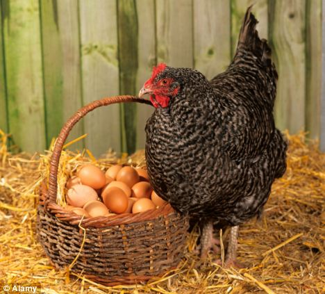 gà đẻ trứng hay kêu cục ta cục tác