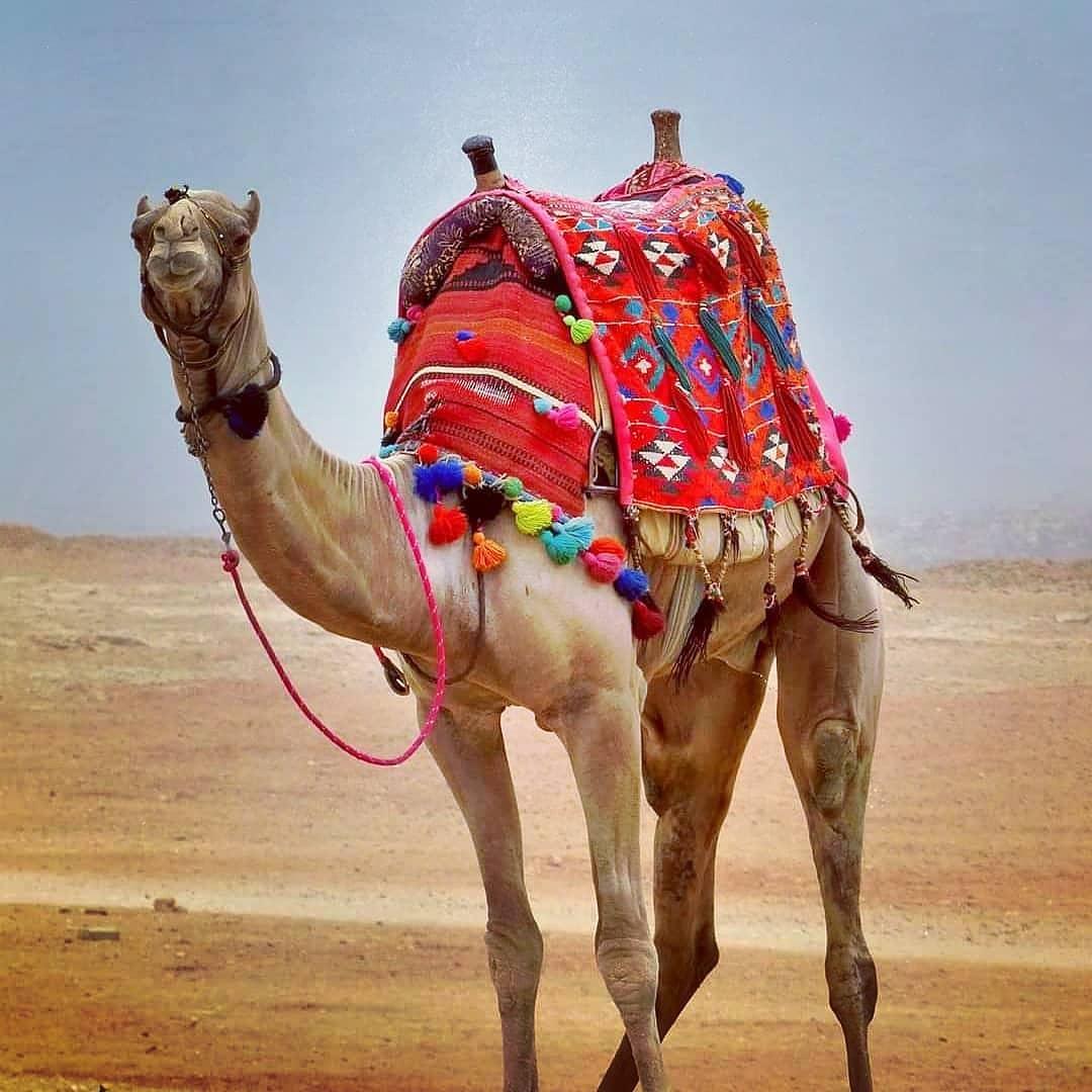 lạc đà sống ở sa mạc
