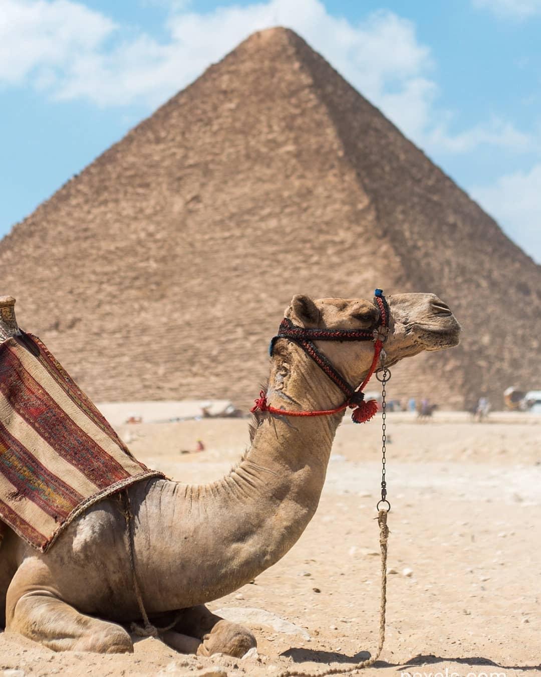 Lạc Đà thường sống ở Sa Mạc