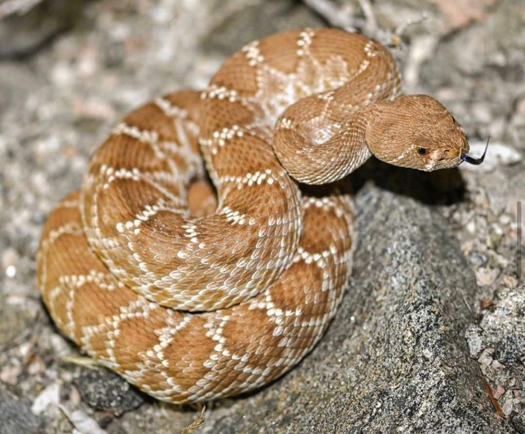 đuôi rắn chuông có thể phát ra tiếng kêu