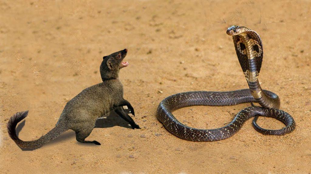 rắn hổ mang và cầy mangut tranh đấu với nhau