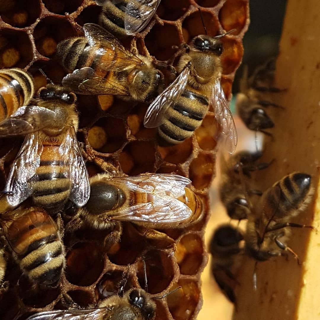 mỗi tổ ong chỉ có một ong chúa