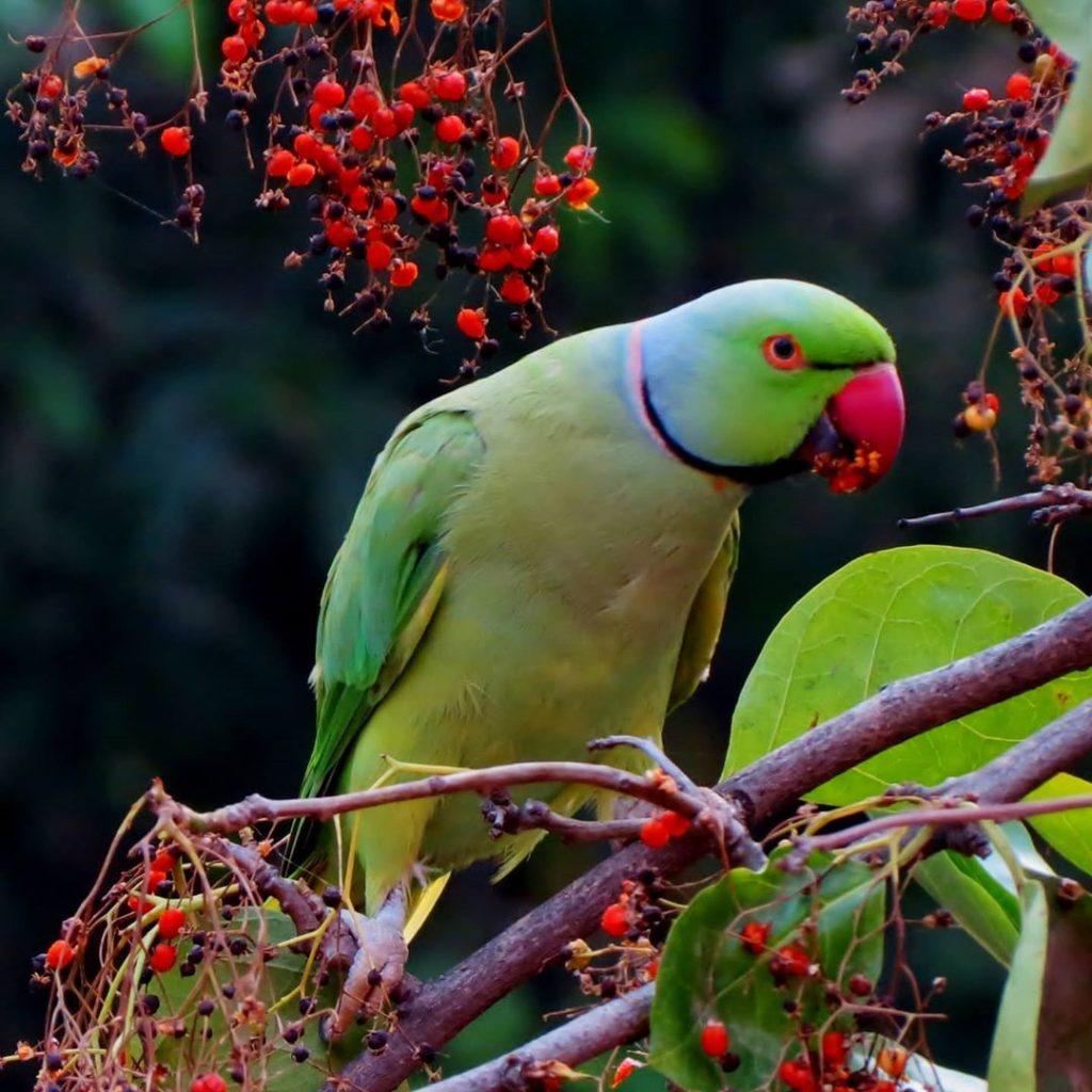con vẹt có thể nói được tiếng người