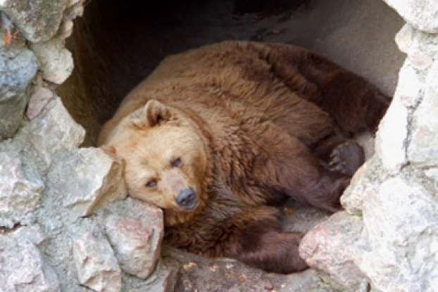 gấu là động vật ngủ đông