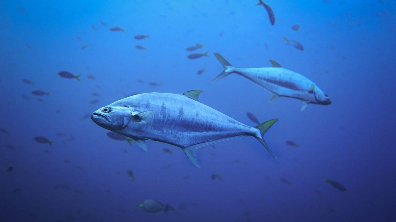 lườn cá đại dương thường hằn rõ