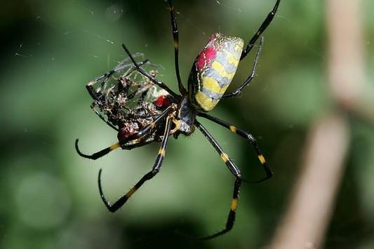 nhện cái ăn thịt nhện đực sau khi giao phối